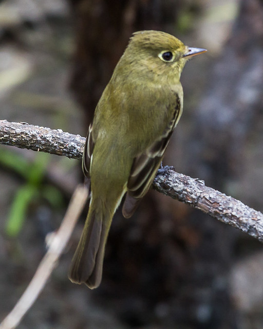 Pacific-coast Flycatcher