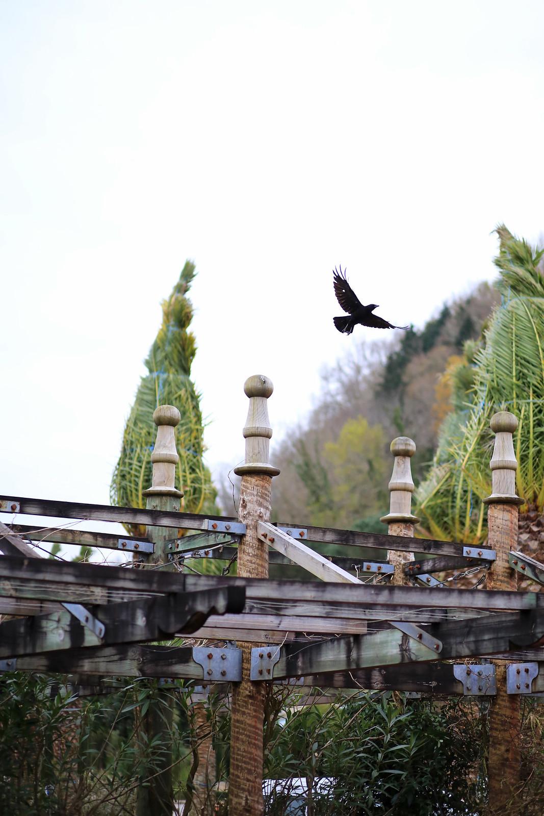 corbeau volant dans le ciel