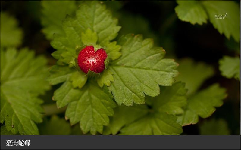 006臺灣蛇莓
