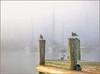 Foggy Birds