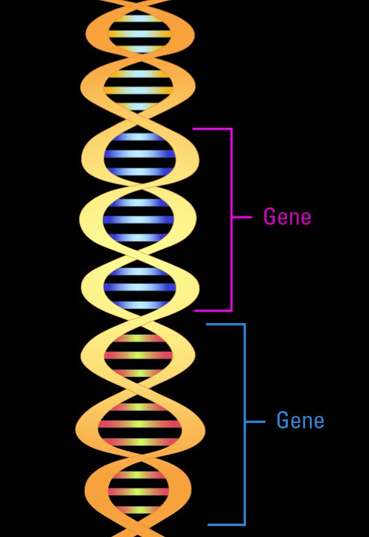 Double helix and gene segments
