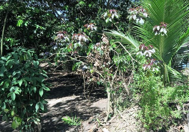 tapioca plant manaus