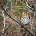 Hermit Thrush (Catharus guttatus) II by stanlupo (Thanks for 1,000,000 Views)