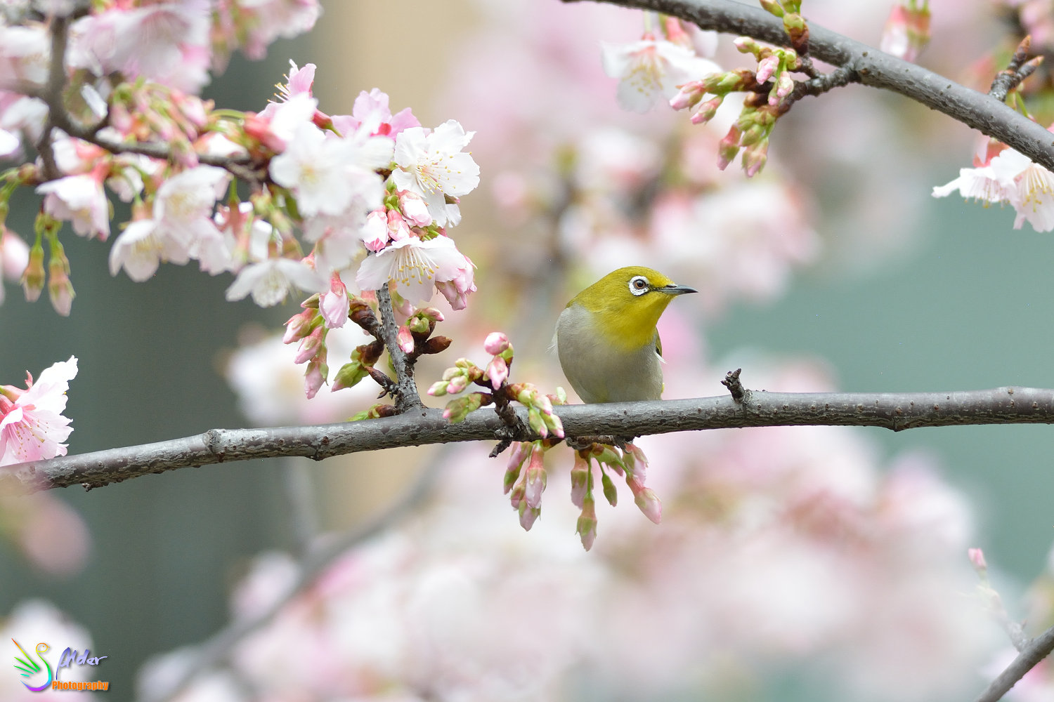 Sakura_White-eye_6773