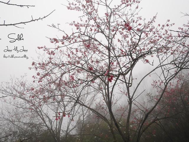 台北一日遊景點陽明山花季賞櫻花 (27)