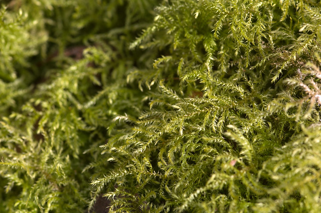 Common Feather-moss