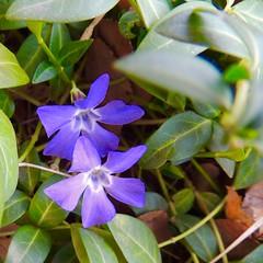 Violets-Unclose