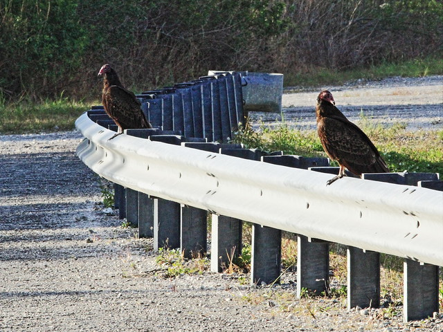 Turkey Vultures 20160311