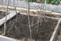 planting peas IMG_5139