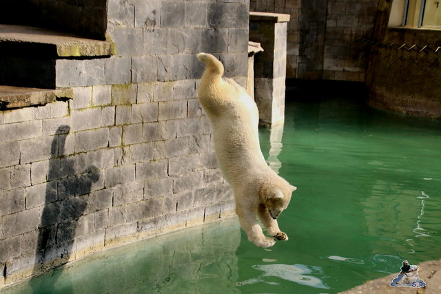 Eisbär Fiete im Zoo Rostock 20.03.2016  0208