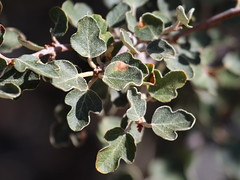 California Flannelbush (Fremontodendron californicum), Wrightwood, CA, 3-13-16 B
