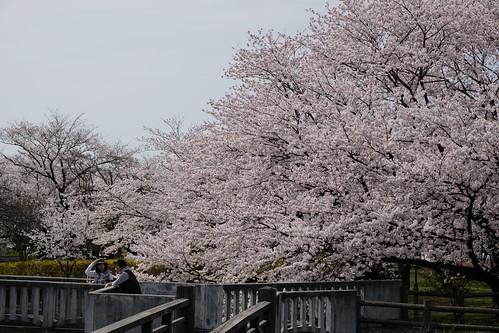 桜の花、舞い上がる道を 2016