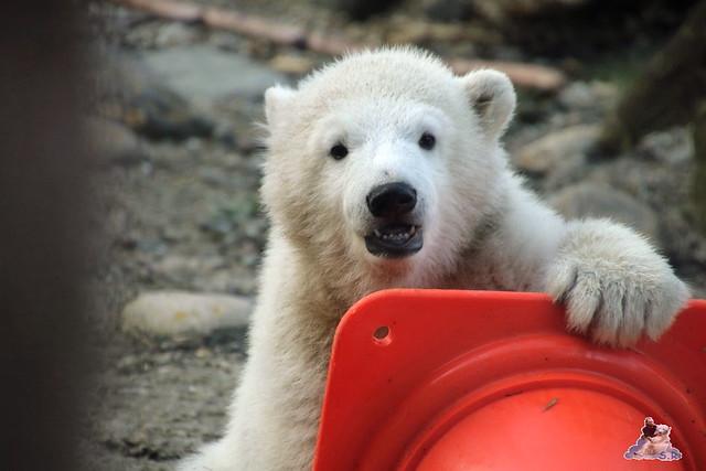 Eisbär Lili im Zoo am Bremerhaven 10.04.2016 Teil 2  0130