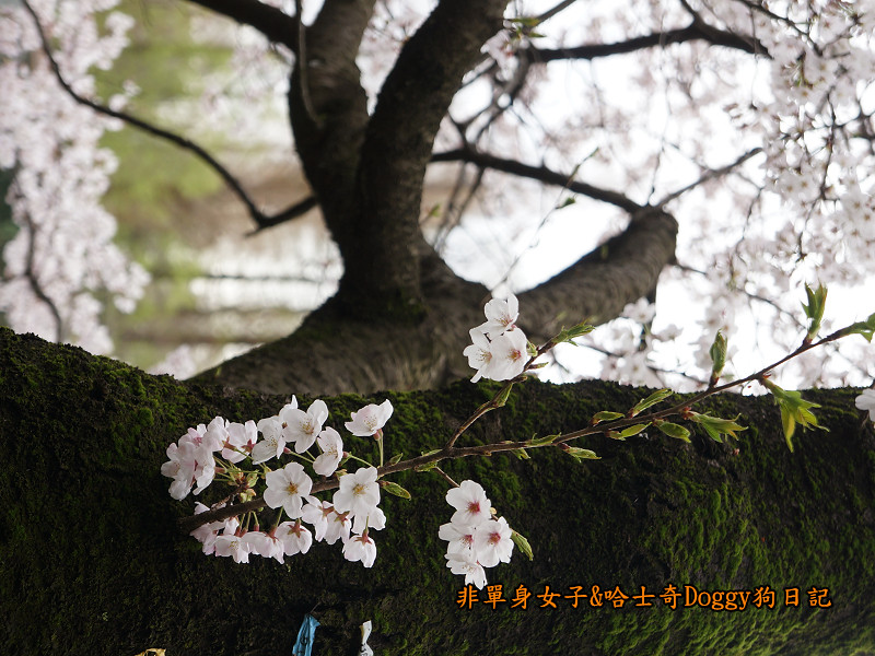 日本東京吉祥寺牛肉丸&satou牛排29