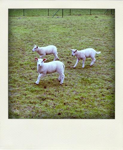 Three little sheep