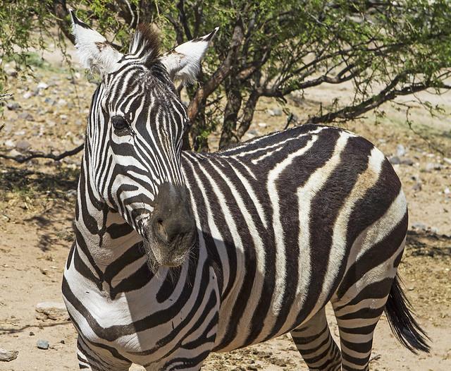 Zebra 14_7d1__250416