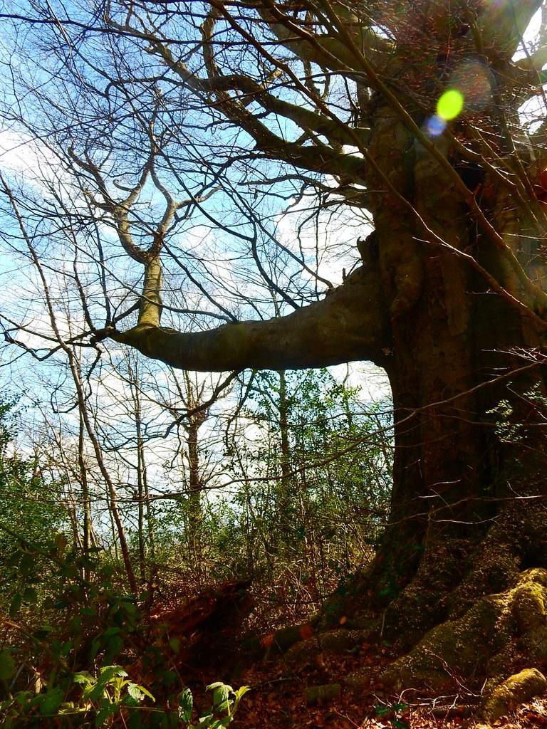 Gnarled tree 2 Sevenoaks to Westerham