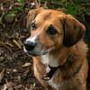 Muki, Australian cattle dog & Beagle mix, Cooper Park