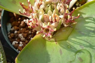 DSC_2386 Massonia latifolia マッソニア ラティフォリア