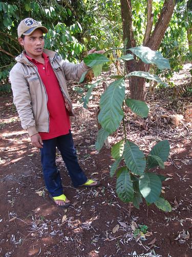 Plateau des Bolovens: cet arbre aux grandes feuilles ne produit pas de l'Arabica mais du Liberica, plus difficile à cultiver et moins apprécié.