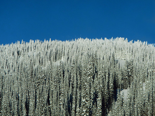 Snowy trees texture at Silver Star Ski Resort in the BC Interior