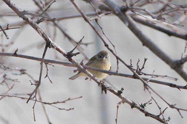 Angry-crowned Warbler