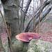 Blushing Bracket - Daedaleopsis confragosa
