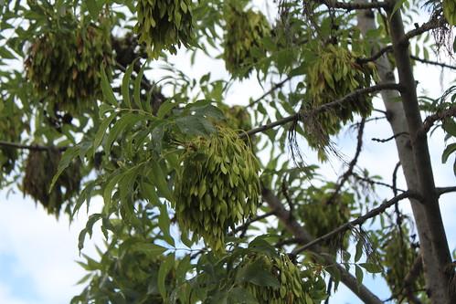 Fraxinus excelsior - frêne élevé, frêne commun 25140267772_1e8865c9ed