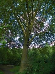 GOC Walthamstow to Stratford 133: London Plane (Platanus × acerifolia)