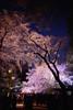 Shidarezakura by Jin Abe