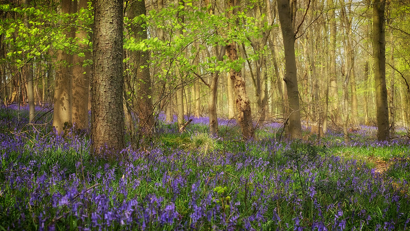 Bluebell time..