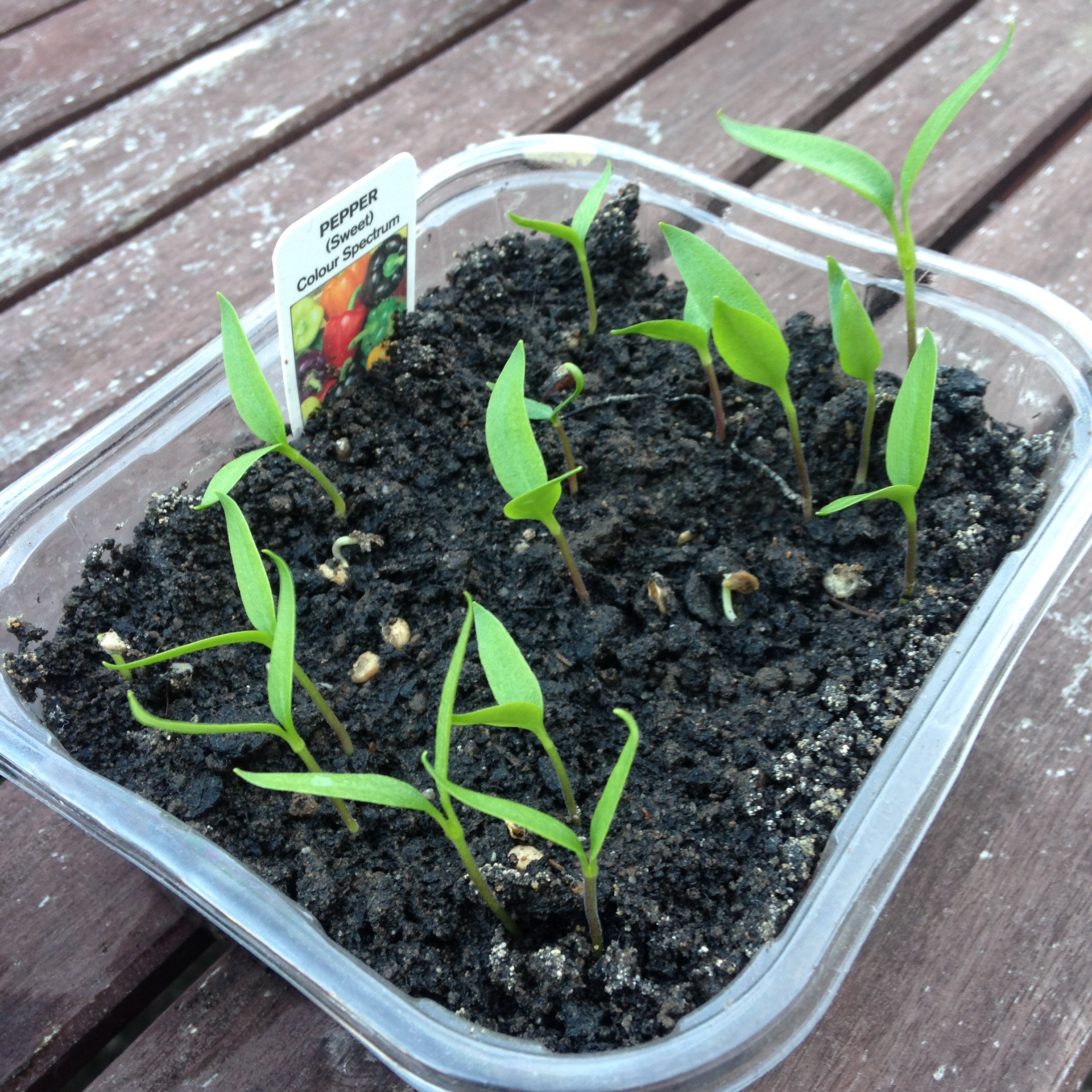 Pepper seeds growing
