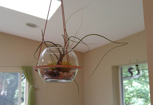 This air plant is doing so well, I love it.