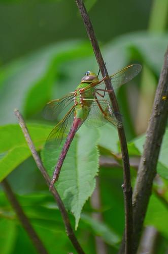 <p><i>Anax junius</i>, Aeshnidae<br /> Minnekhada Regional Park, Coquitlam, British Columbia, Canada<br /> Nikon D5100, 70-300 mm f/4.5-5.6<br /> May 31, 2015</p>