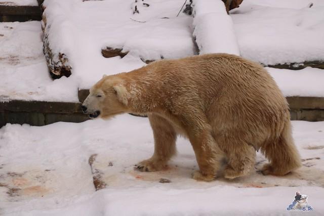 Eisbär Fiete im Zoo Rostock 23.01.2016  0143