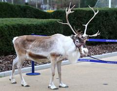 Chelsea FC 'A Blue Christmas' Reindeer