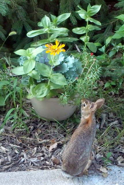 rabbit sniffing moss roses, with zinnias and ornamental kale in the same pot