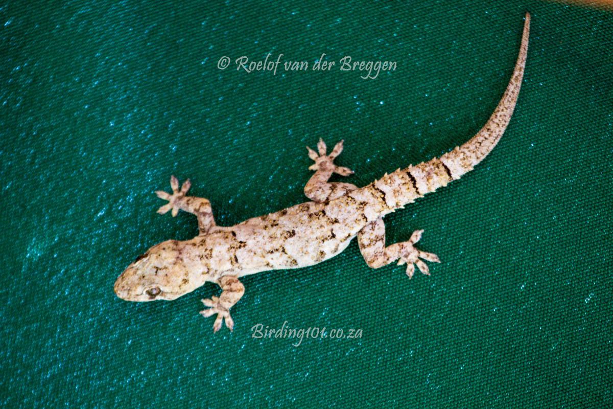moreau's tropical house gecko – birding101.co.za