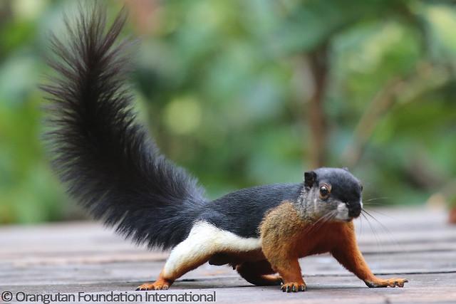 11 - Prevost's Squirrel (Callosciurus prevostii sanggaus) BMG_wm