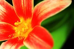 blossom with pollen, Blüte mit Pollen