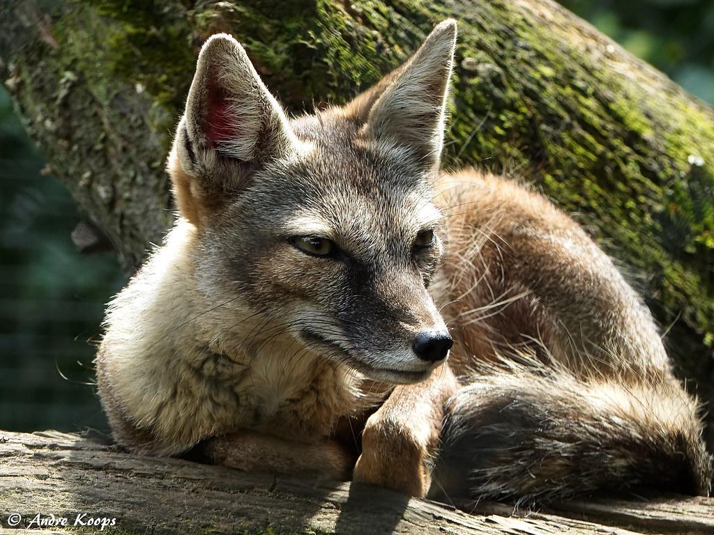 Corsac Fox - Zie Zoo Volkel