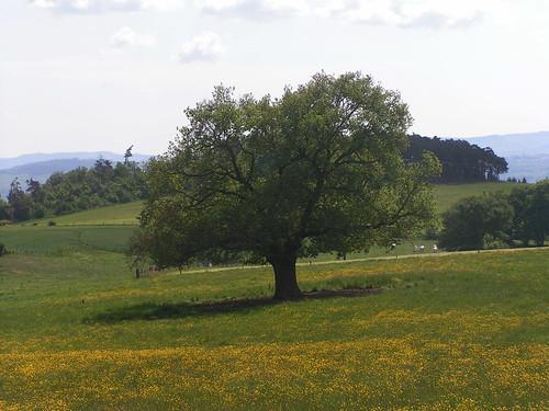 20080514 22772 0904 Jakobus Baum Wiese gelb Hügel