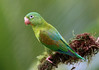 Orange-chinned Parakeet - Laguna Lagarto, Costa Rica