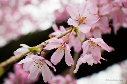 2016 桜