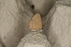 Petrelaea tombugensis