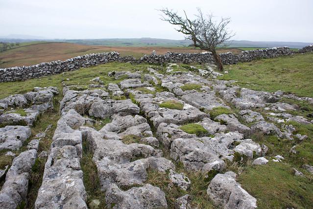limestone pavement and tree