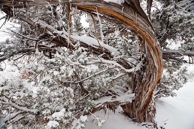 Juniper Snow