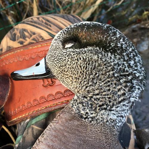 duck texas ducks american swanlake waterfowl duckhunting americanwigeon wigeon ducksoftexas