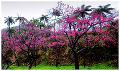 COLD WINTER CHERRY TREES BLOOMING AGAINST TROPICAL RAINFOREST FERN TREES