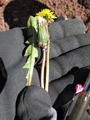 starr-150507-1798-Taraxacum_officinale-flower_seedhead_leaf-Science_City-Maui